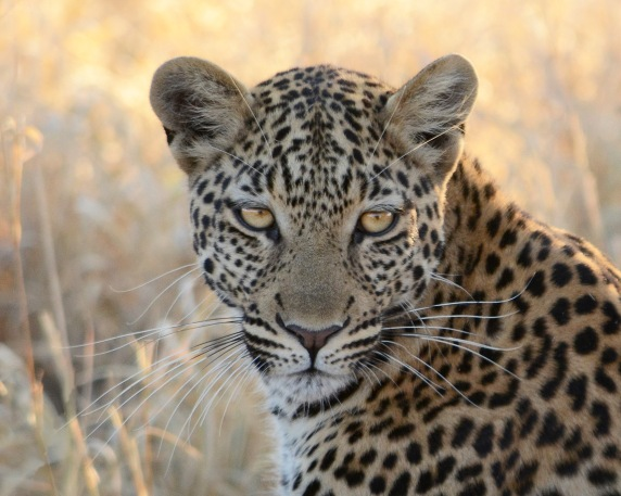Leopard close up*F