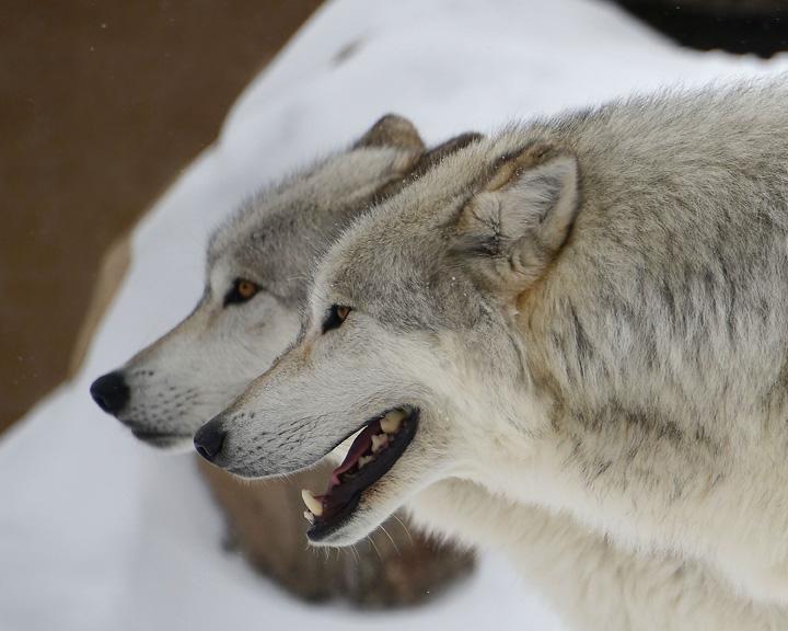 2 Wolves portrait