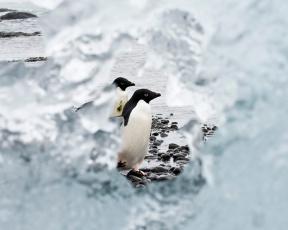 Adelie Penguin through Iceberg