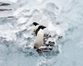 Adelie Penguin through Iceberg
