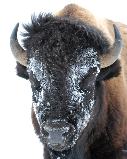 Bison in Yellowstone winter