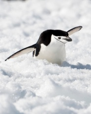 Chinsprap Penguin gliding down snowy hillside