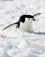 Chinsprap Penguin gliding down snowy hillside