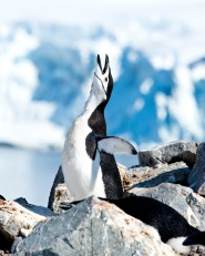 Chinstrap Penguin declaring his place in the world