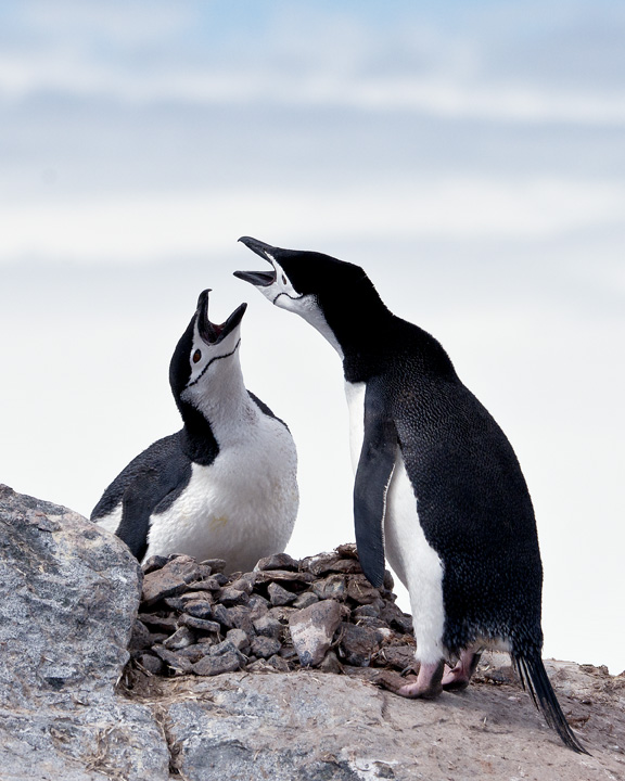 Chinstrap Penguins exchanging love songs