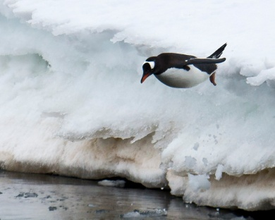 Gentoo Penguin taking a dive