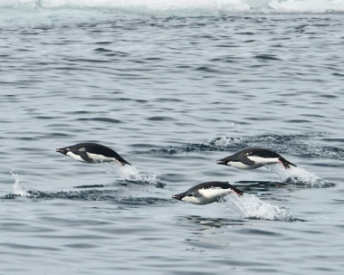 Gentoo's racing our boat 2