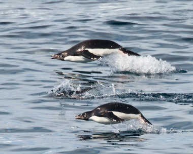 Gentoo's racing our boat