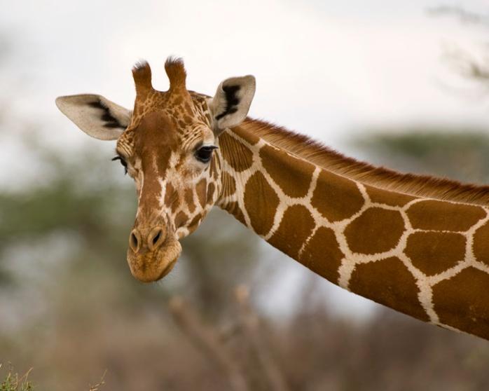 Giraffe-Kenya