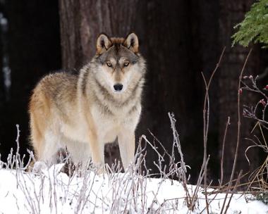 Gray Wolf Alaska-Canada