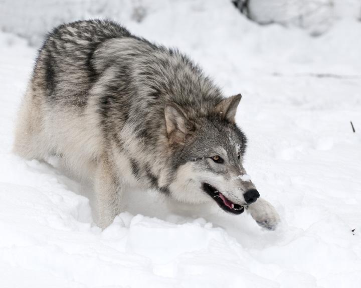 Grey Wolf stalking prey