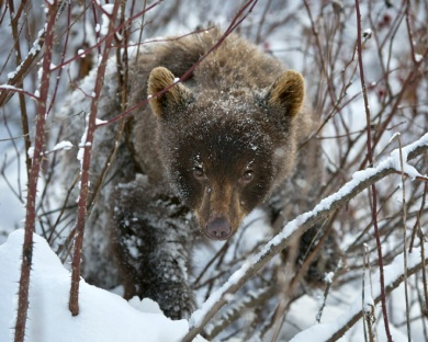 Grizzly Cub trying to Survive Winter