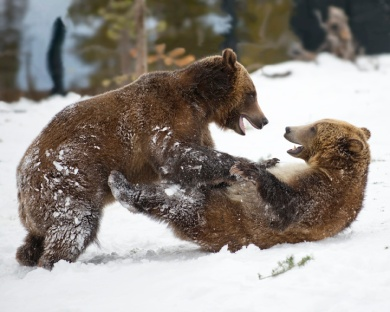 Grizzly Cubs Playing in Snow