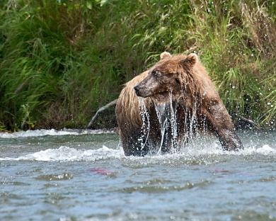 Grizzly in Alaska diving for Salmon
