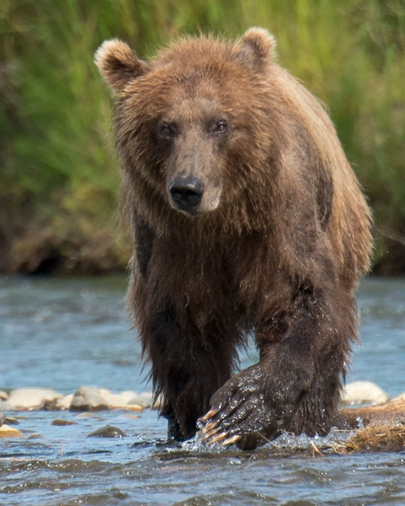 Grizzly in Stream