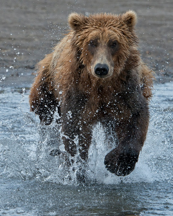 Grizzly racing my way