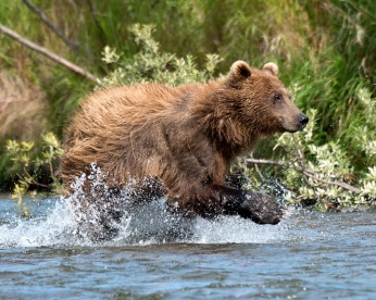 Grizzly running in stream-Alaska