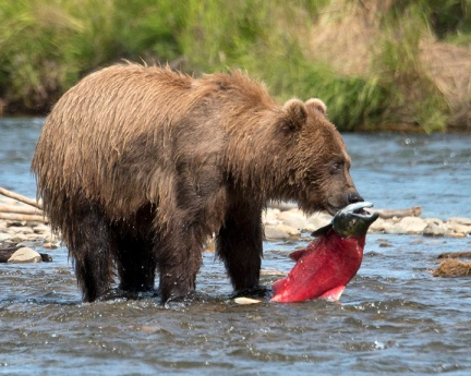 Grizzly & Salmon-Alaska