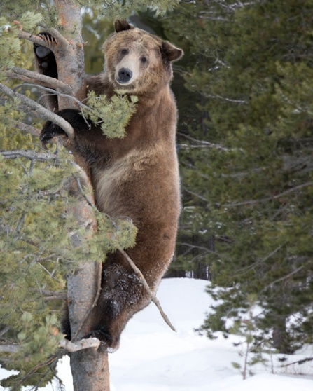 Grizzly trying to climb tree, poorly