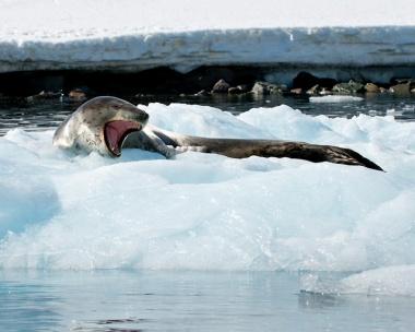 Leopard Seal riding Iceberg near Penguin colony