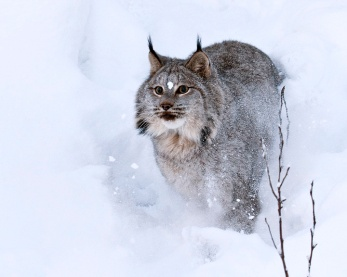 Lynx in snow storm