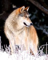 Wolf-Alaska Canada boarder