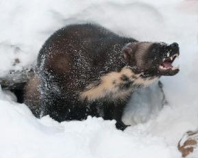 Wolverine-Northern Canada