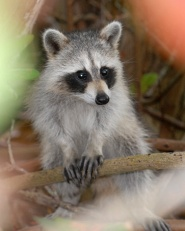 Young Raccoon-Ding Darling, FL