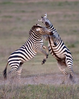 Zebra males fighting over female